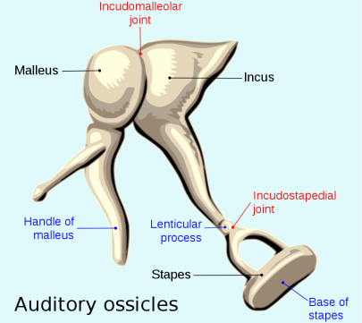850px-Auditory_ossicles-en.svg